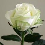Чайно-гибридная роза Аваланж