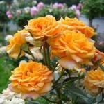 Мелкоцветковая роза Клементина