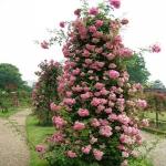 Вьющаяся роза Розовый жемчуг