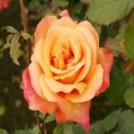 Парковая роза Лолита