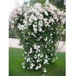 Вьющаяся роза Мон Блан