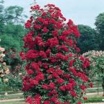 Вьющаяся роза Норита