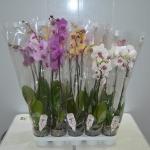 Вазон Орхидея 2 (фаленопсис) 12/80 (1шт.)