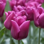 Тюльпан  Passionale Триумф