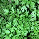 Петрушка листовая Ароматная