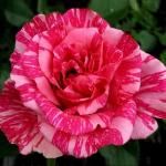 Чайно-гибридная роза Пинк Интуишн