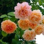 Вьющаяся роза Полька