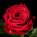Чайно-гибридная роза Ред Наоми (1шт.)