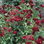Бордюрная роза Ред Сенсейшн