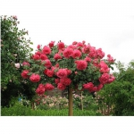 Штамбовая роза Розовая POLYANTA