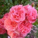 Штамбовая роза Розовая Мерлин
