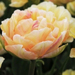 Тюльпан  Charming Lady  махр+багатокв.