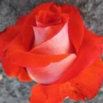 Чайно-гибридная роза Верано