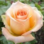 Чайно-гибридная роза Версилия