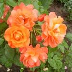 Парковая роза Вэстэрленд (1шт.)