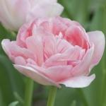 Тюльпан  Angelique махровый