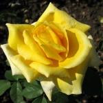 Бордюрная роза Желтая кукла